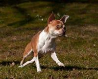 Chihuahuas som kör på en gräsmatta Arkivfoto