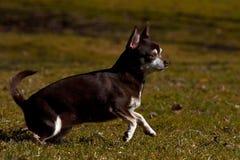 Chihuahuas som kör på en gräsmatta Royaltyfria Foton