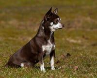 Chihuahuas som placeras på en gräsmatta Arkivfoto