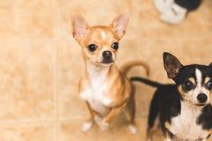 Chihuahuas som ser upphetsade Arkivfoto