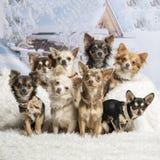 Chihuahuas som tillsammans sitter i vinterplatsen, stående Royaltyfri Fotografi