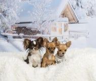 Chihuahuas som tillsammans sitter på den vita pälsfilten i vinterlandskap Arkivbild