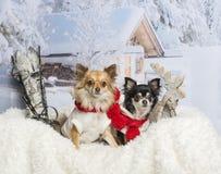 Chihuahuas som tillsammans sitter på päls i vinterplats Royaltyfri Foto