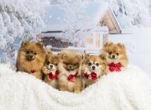 Chihuahuas, Spitz en Pomeranians-zitting in wearin van de de winterscène Stock Afbeelding