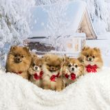 Chihuahuas, Spitz and Pomeranians sitting in winter scene wearin. G bow ties Royalty Free Stock Photos