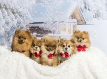 Chihuahuas, Spitz and Pomeranians sitting in winter scene wearin. G bow ties Stock Image