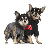 Chihuahuas standing Royalty Free Stock Images