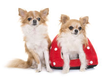 Chihuahuas in studio. Purebred chihuahuas and strawberry cushion in front of white background stock photography