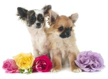 Chihuahuas in studio Royalty Free Stock Photos