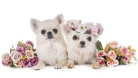 Chihuahuas in studio Stock Image