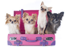 Chihuahuas in suitcase. Portrait of a cute purebred  chihuahuas in suitcase in front of white background Royalty Free Stock Photography