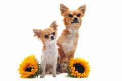 Chihuahuas and sunflowers. Portrait of a cute purebred  puppy and adult chihuahuas with sunflowers in front of white background Royalty Free Stock Photo