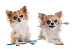 Chihuahuas and toothbrush Royalty Free Stock Photos