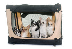 Chihuahuas in transport kennel Royalty Free Stock Photography