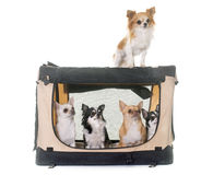 Chihuahuas in transport kennel Royalty Free Stock Images