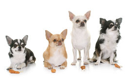 Chihuahuas and treats Stock Photography
