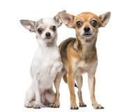 chihuahuas två Arkivfoton