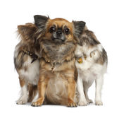 Chihuahuas with two hiding behind, sitting Stock Images