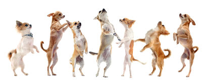 Chihuahuas upright Royalty Free Stock Photography