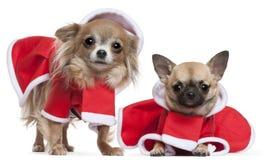 Chihuahuas vestidas en los equipos de Santa Imagen de archivo libre de regalías