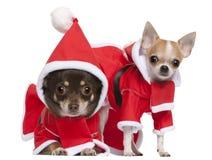 Chihuahuas vestidas en los equipos de Santa Fotografía de archivo