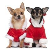 Chihuahuas vestidas en los equipos de Santa Foto de archivo libre de regalías