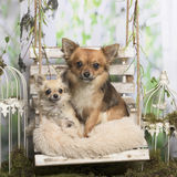 Chihuahuas viejas y jovenes en una almohada Imagen de archivo