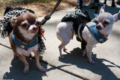 Chihuahuas Wear Identical Costumes At Dog Fashion Show Stock Images