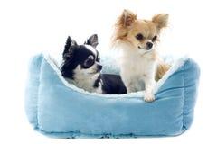 Chihuahuas y cama del perro Imagenes de archivo