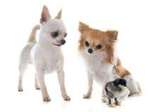 Chihuahuas y polluelo Fotografía de archivo