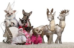 Chihuahuas, 4 years, 1.5 years and 2 years old with Chihuahua puppies, 8 months and 10 months old. In Christmas sleigh in front of white background stock image