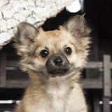 Chihuahuasammanträde framme av julnativity Royaltyfri Bild