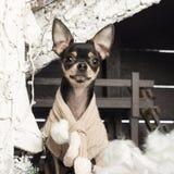 Chihuahuasammanträde framme av julnativity Arkivbilder