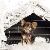 Chihuahuasammanträde framme av julnativity Royaltyfria Bilder