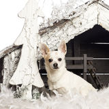 Chihuahuasammanträde framme av julnativity Arkivbild
