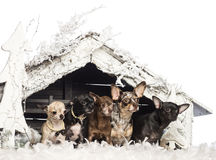 Chihuahuasammanträde framme av julnativity Fotografering för Bildbyråer
