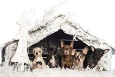 Chihuahuasammanträde framme av julnativity Royaltyfria Foton