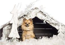 Chihuahuasammanträde framme av julnativity Arkivfoto