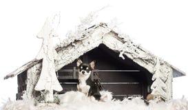 Chihuahuasammanträde framme av julnativity Royaltyfri Fotografi