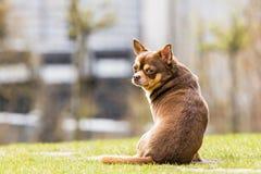 Chihuahuasammanträde i gräset Fotografering för Bildbyråer