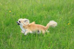 Chihuahuaspring Arkivbild