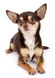 Chihuahuastående Arkivbild