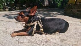 Chihuahuatekopp royaltyfri fotografi