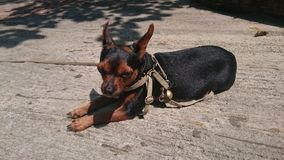 Chihuahuatheekopje Stock Foto's