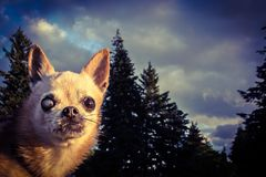 Chihuahuatovenaar royalty-vrije stock foto's