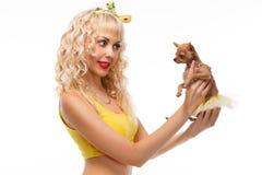 Chihuahuavalp i händerna av blondinen som isoleras på vit royaltyfri foto