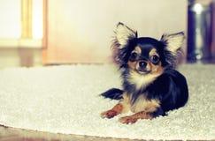 Chihuahuavalp inomhus arkivfoton