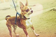 Chihuahuavalp som går på gatan Arkivbild