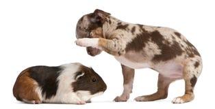Chihuahuavalp som påverkar varandra med en försökskanin Arkivbild