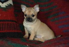 Chihuahuavalpar 12 Arkivbild
